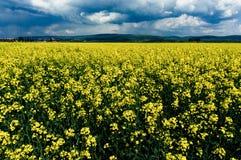 Canola blommor Arkivbild