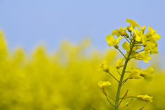 Canola bloom Royalty Free Stock Images