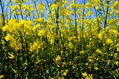 Canola in Bloom. Canola field in full bloom stock photo