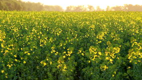 Canola blooming stock video footage