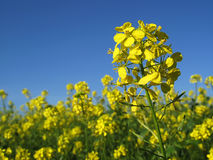 Canola with blue sky Stock Image