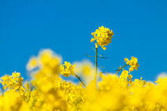 Canola and blue sky Stock Photography