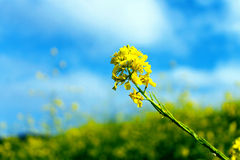 Canola Blume Stockbild