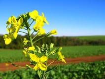 Canola Blumen Stockfotos