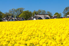 Canola and buildings Royalty Free Stock Photo