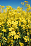 Canola close-up. Yellow canola bloom with a blue sky background Royalty Free Stock Photos