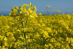 Canola coleseed blossom, rapeseed field against blue sky Royalty Free Stock Photo