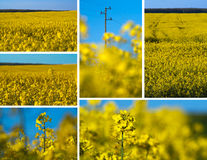 Canola collage Royalty Free Stock Photos