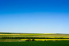 Canola or colza or cultivation field with blue sky Stock Images