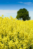 Canola or colza or cultivation field with blue sky Royalty Free Stock Photo