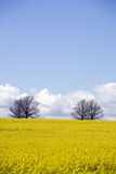 Canola Crop Stock Photography