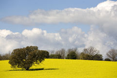 Canola Crop Stock Photos