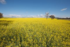Canola Crop Royalty Free Stock Photography