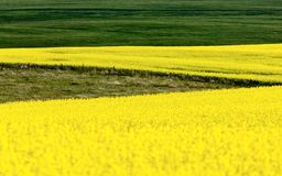 Canola Crop Royalty Free Stock Image