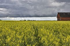 Canola Crop Canada Royalty Free Stock Photography