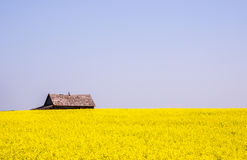 Canola crop farm field during summer with barn royalty free stock photo