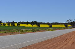 Canola crop growing in paddock oilseed rape Stock Photos