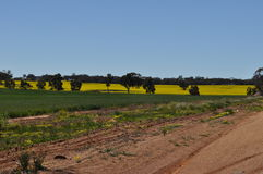Canola crop growing in station paddock Stock Images