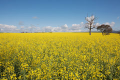 Canola Crop in paddock Royalty Free Stock Photo