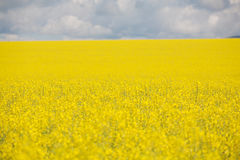 Canola Crop in paddock Royalty Free Stock Photos