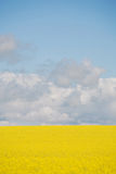 Canola Crop in paddock Stock Image