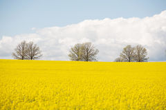 Canola Crop in paddock Stock Photography