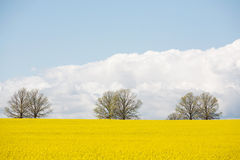 Canola Crop in paddock Stock Photo