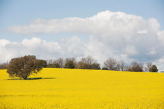 Canola Crop in paddock Royalty Free Stock Image