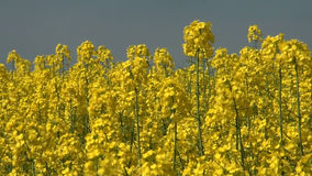 Canola crop plantation fields - Rapeseed field in a sunny summer day stock footage