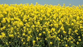 Canola crop plantation fields - Rapeseed field in a sunny summer day stock video footage