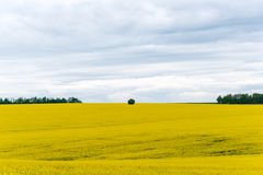 A Canola crop, in Spring flower Royalty Free Stock Photos