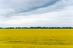 A Canola crop, in Spring flower Royalty Free Stock Photo