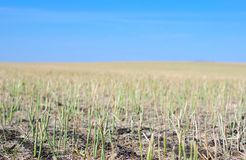 Canola crop stubble in field Stock Images