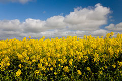 Canola crops Australia Royalty Free Stock Images
