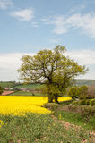 Canola crops in the English summer countryside. Stock Photography