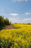 Canola crops in the English summer countryside. Royalty Free Stock Images
