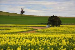 Canola crops rural Australia Royalty Free Stock Photo
