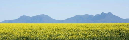 Canola crops Royalty Free Stock Photo