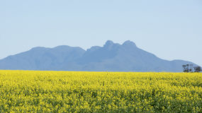Canola crops Stock Image