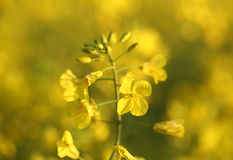 Canola de oro Imagen de archivo libre de regalías