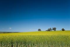Canola erntet Australien Lizenzfreie Stockfotos