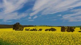 Canola fält Arkivbild