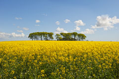 Canola farm. View across a Scottish canola field to a distant farm and trees on a sunny day Stock Images