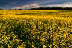 Canola Farm. Bright yellow canola shot in mid July stock image