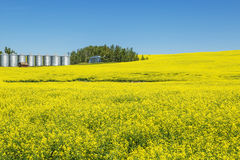 Canola farm Stock Photography