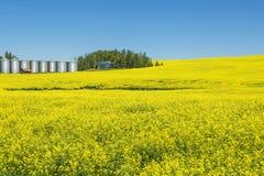 Canola farm. A crop of canola in Alberta Canada Stock Photography
