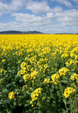 Canola in the farm field Stock Photo