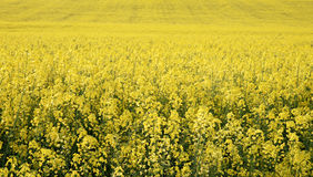 Canola in the farm field Stock Image