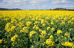 Canola in the farm field Royalty Free Stock Images