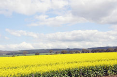 Canola Feild. Royalty Free Stock Photos